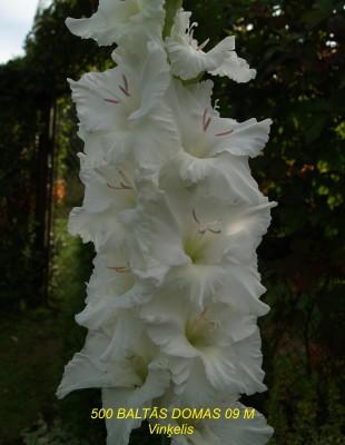 Baltās Domas