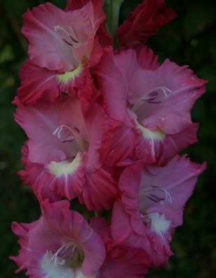 Rožu laipa